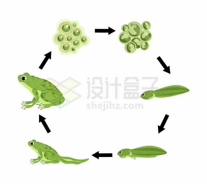 青蛙的生命周期:从受精卵到小蝌蚪到青蛙生物课插画9337001矢量图片免抠素材免费下载