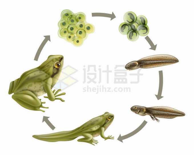 青蛙的生命周期:从受精卵到蝌蚪到成年生物课插画6040872矢量图片免抠素材免费下载