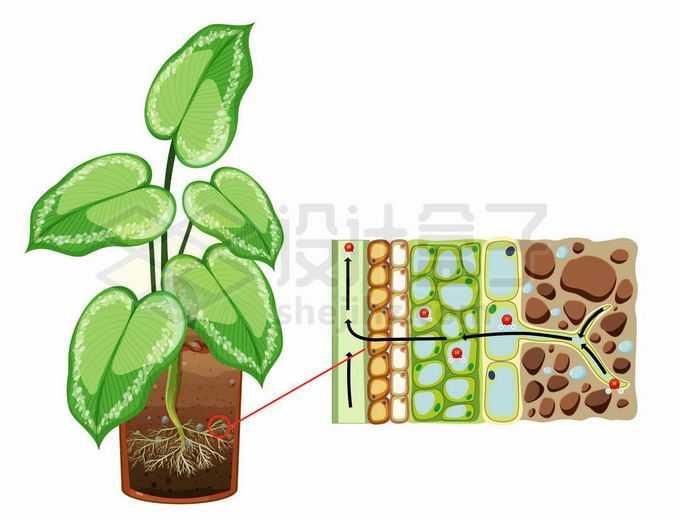 植物根部细胞吸收土壤中的水分无机盐和可溶性小分子有机质生物课插图4044883矢量图片免抠素材免费下载