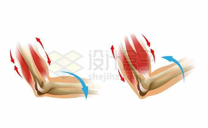 手臂肌肉二头肌和三头肌的运动过程示意图生物课插图3676986矢量图片免抠素材免费下载
