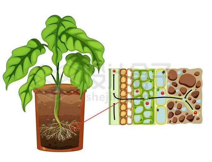 植物根部细胞吸收土壤中的水分无机盐和可溶性小分子有机质生物课插图5844517矢量图片免抠素材免费下载
