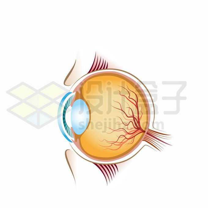 彩色人体眼球的结构图4305821矢量图片免抠素材免费下载