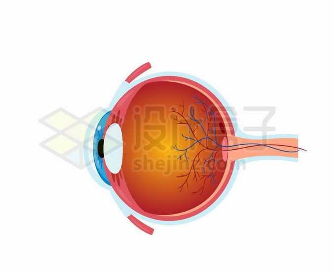 一款逼真的人体眼球结构解剖图2104773矢量图片免抠素材免费下载