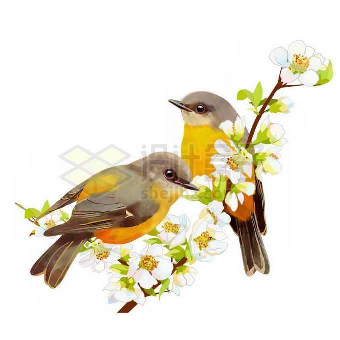 白色梨花枝头上的两只黄鹂鸟免抠图片素材