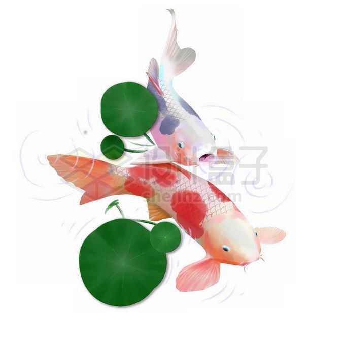 浮萍下方的锦鲤金鱼免抠图片素材