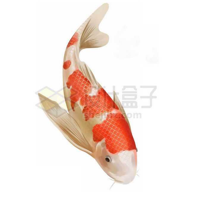 一条红色白色相间的锦鲤免抠图片素材