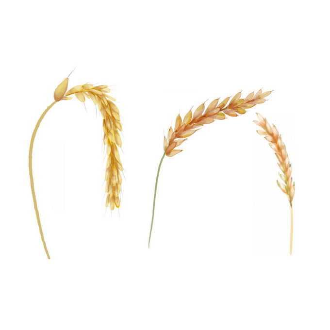颗粒饱满的金色麦穗粮食大丰收水彩画3401172免抠图片素材