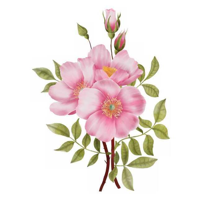 盛开的蜀葵一丈红粉红色鲜花1241151图片素材