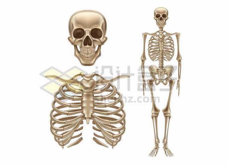 骷髅头胸腔骨人体骨架结构1826399矢量图片免费下载
