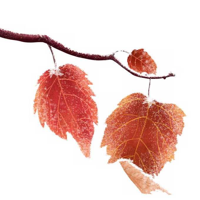 深秋霜降的树枝和红色树叶5905255png免抠图片素材