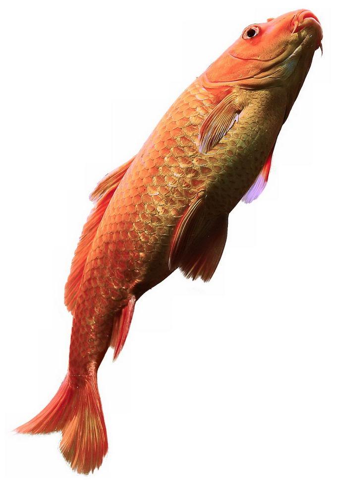 一条金色的红鲤鱼锦鲤9032991png免抠图片素材