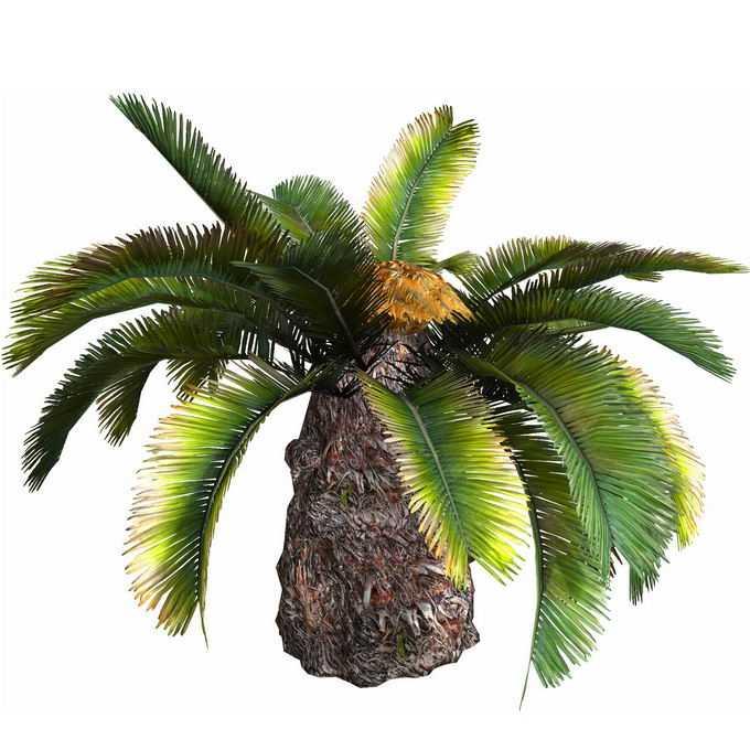 一株铁树苏铁加拿利海枣热带树木1975558免抠图片素材
