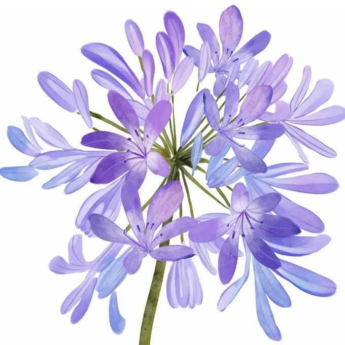 盛开的百子莲紫色花朵5899919免抠图片素材