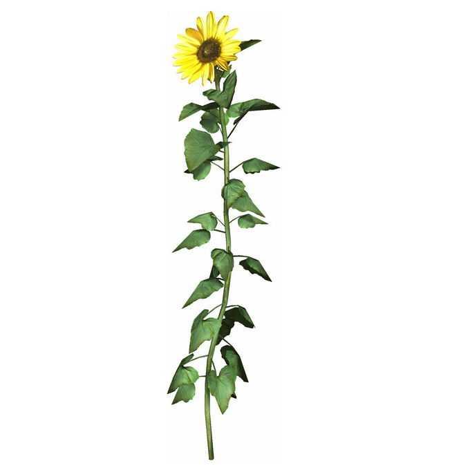 一朵向日葵花朵和杆子叶片5538201免抠图片素材