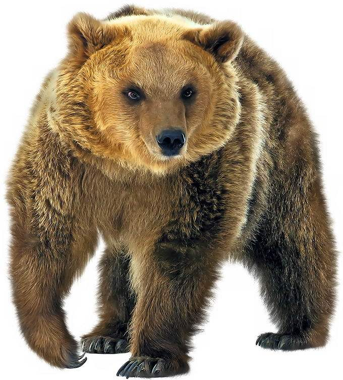 一只西伯利亚大棕熊4402723png免抠图片素材