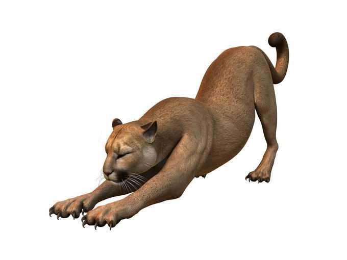 伸懒腰的美洲狮猫科动物1478827png免抠图片素材