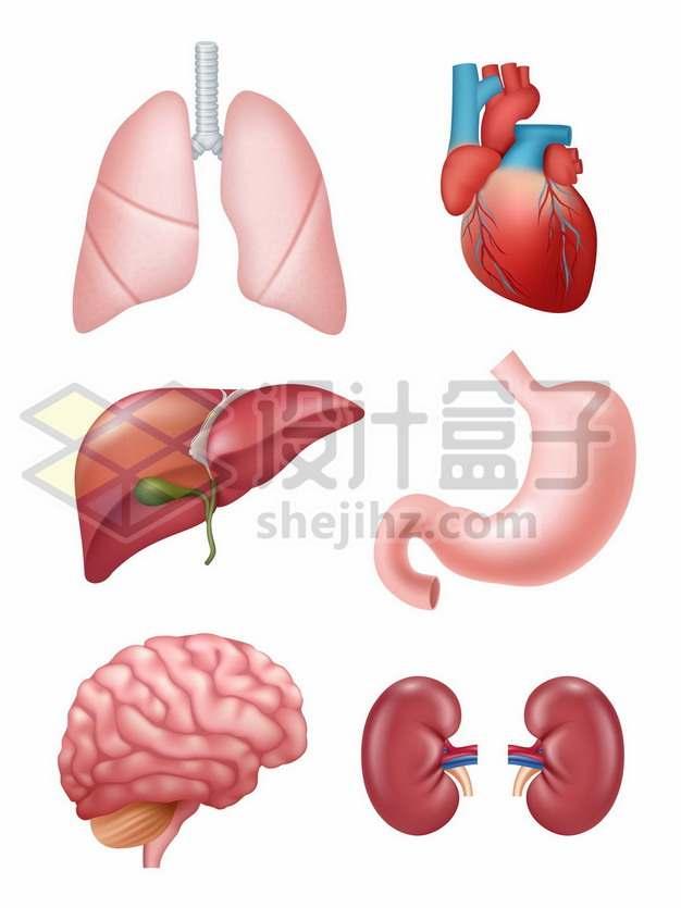 6款肺部心脏肝脏胃部大脑肾脏等人体器官组织7245077矢量图片免抠素材免费下载