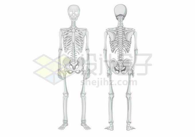 灰色的人体骨架骨骼前后示意图7450124矢量图片免抠素材
