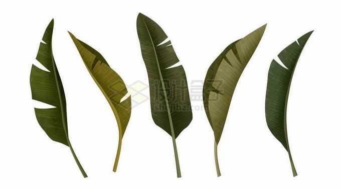 5款芭蕉叶子大大的树叶1071348矢量图片免抠素材