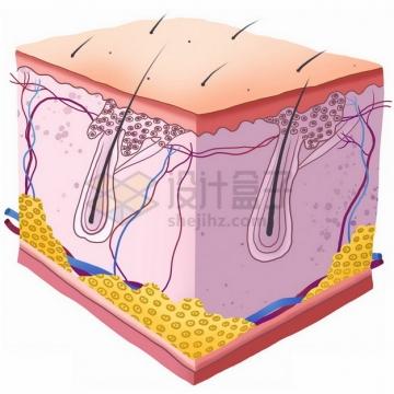 高清人体皮肤内部结构解剖图477623png免抠图片素材