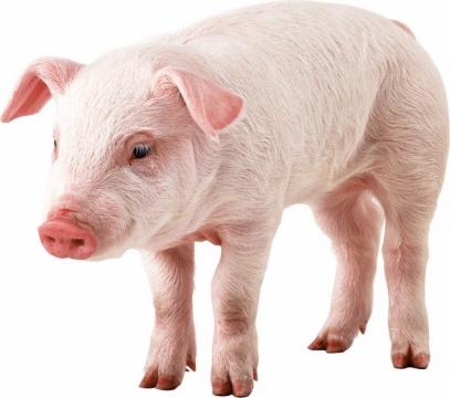可爱的家猪小猪大白猪414818png图片素材