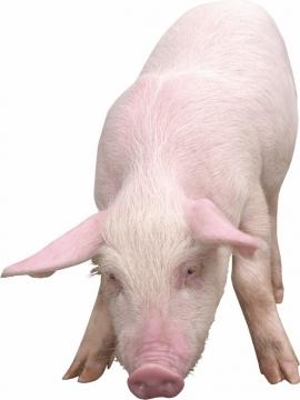 可爱的家猪小猪大白猪661054png图片素材