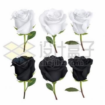 白玫瑰花和黑玫瑰花白色花朵黑色花朵943023png免抠图片素材