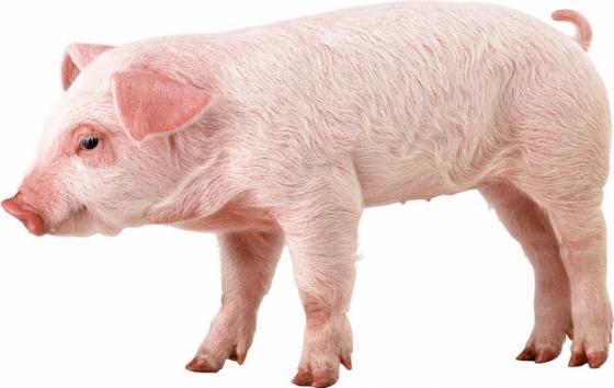 可爱的家猪小猪大白猪925090png图片素材