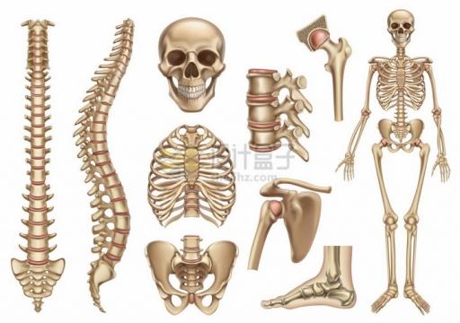 脊椎脊柱胸骨头盖骨等人体骨骼骨架结构png图片素材