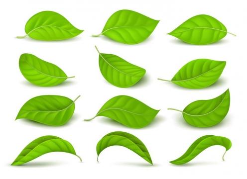 12款逼真的绿油油的树叶图片免抠矢量素材