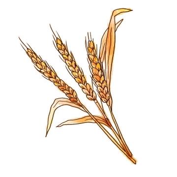 手绘风格枯黄色的小麦麦穗图片免抠素材