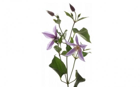 桔梗花植物503882png免抠图片素材