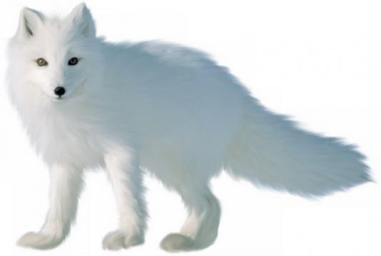 可爱的北极狐北极动物924414png图片素材
