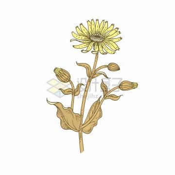 金莲花中草药草本植物彩绘插画png图片免抠矢量素材