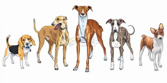 比格犬灵缇杜宾犬圣伯纳犬杰克罗素梗宠物狗狗品种彩绘插画png图片素材