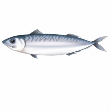 一条鱽鱼刀鱼335098png图片素材
