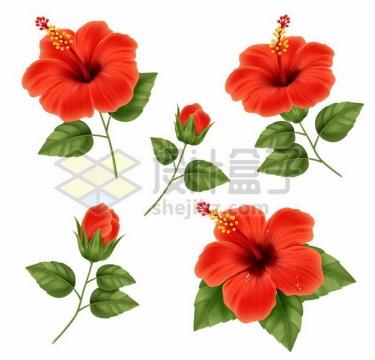 各种扶桑花红色花朵229876png图片素材
