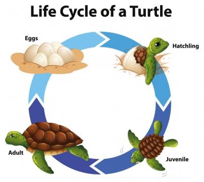 海龟从孵化到出壳到回归海洋长大的全过程示意图图片免抠矢量图素材