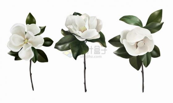 3朵白色的木兰花鲜花花卉花朵png图片素材