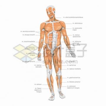 高清人体结构图肌肉组织解剖图矢量png图片素材