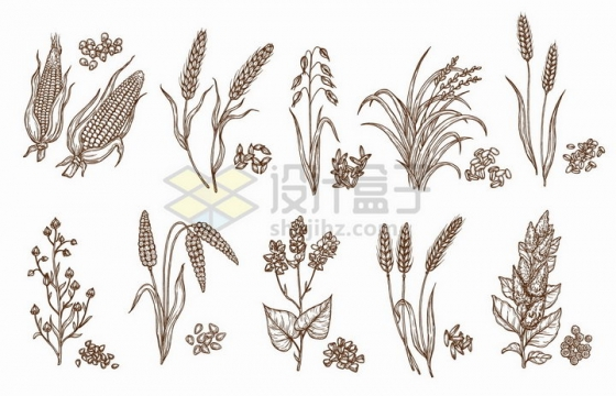 玉米小麦稻谷高粱等谷物草本植物手绘插画png图片免抠矢量素材
