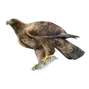 彩绘风格停在石头上的老鹰野生动物图片免抠素材