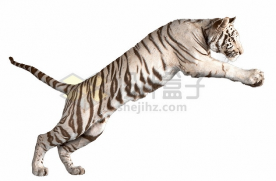 跳跃的白虎孟加拉虎老虎png图片素材