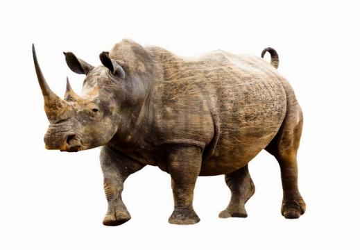 站立的黑犀牛png图片素材