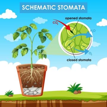 植物生长叶子中的叶绿素和光合作用将二氧化碳转化为氧气中学生物教学图片免抠矢量素材
