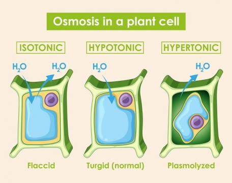 植物细胞的渗透作用中学生物教学图片免抠矢量素材
