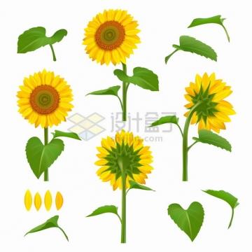 向日葵太阳花的不同角度和绿叶png图片素材