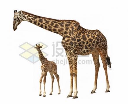 长颈鹿母女png图片素材