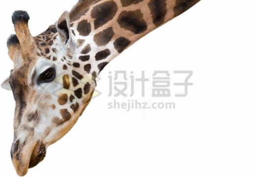 喝水的长颈鹿头部png图片素材