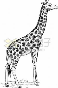 手绘线条长颈鹿素描插画png图片素材
